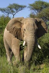 IMG_8700 (Kev Gregory (General)) Tags: africa mountain elephant game mountains field river private african district south reserve sigma safari guide shaun 50500 gregory kev limpopo waterberg jenkinson thabazimbi marakele marataba motlhabatsi