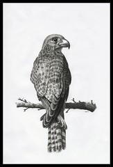 Falcon (Karwik) Tags: bird pencil pencils drawing falcon falco ptak sokol owek rysunek sok olowek
