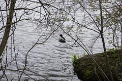 040.Mallard2-park (aetherspoon) Tags: park bird pond greentree birb