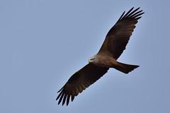 Schwarzmilan - black kite - Milvus migrans (olafkerber) Tags: kite black bird nature outdoor wildlife natur raptor raubvogel vogel milvus migrans greifvogel schwarzmilan colafkerber