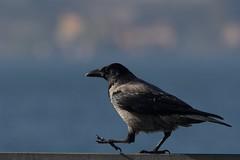 Cornacchia grigia 05 (cristiano crolle) Tags: corvuscoronecornix cornacchia germignaga