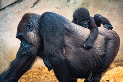 Mother and Babe (Images by Ann Clarke) Tags: gorilla tarongazoo motherandbaby wwwimagesbyannclarkecomau wwaustralianfemalephotographer