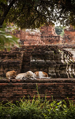 Thailand - Dogs sleeping (Cyrielle Beaubois) Tags: sleeping dogs thailand temple ancient ruins buddhism thalande asie ayutthaya bouddhisme 2015 canoneos5dmarkii cyriellebeaubois