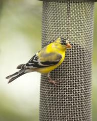 American Goldfinch (wplynn) Tags: wild bird birds feeding indianapolis goldfinch indiana avian castleton tristis spinus