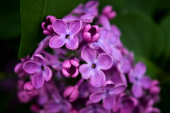 Lilac (Alexandra Horvath) Tags: plant flower nature spring nikon hungary outdoor lilac d3200
