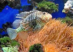 Dangerous Beauty (io747) Tags: fish meer wasser colourful lionfish bunt ozean koralle feuerfisch rotfeuerfisch pteroinae parapterois skorpionfisch stachelflosser lwenfisch