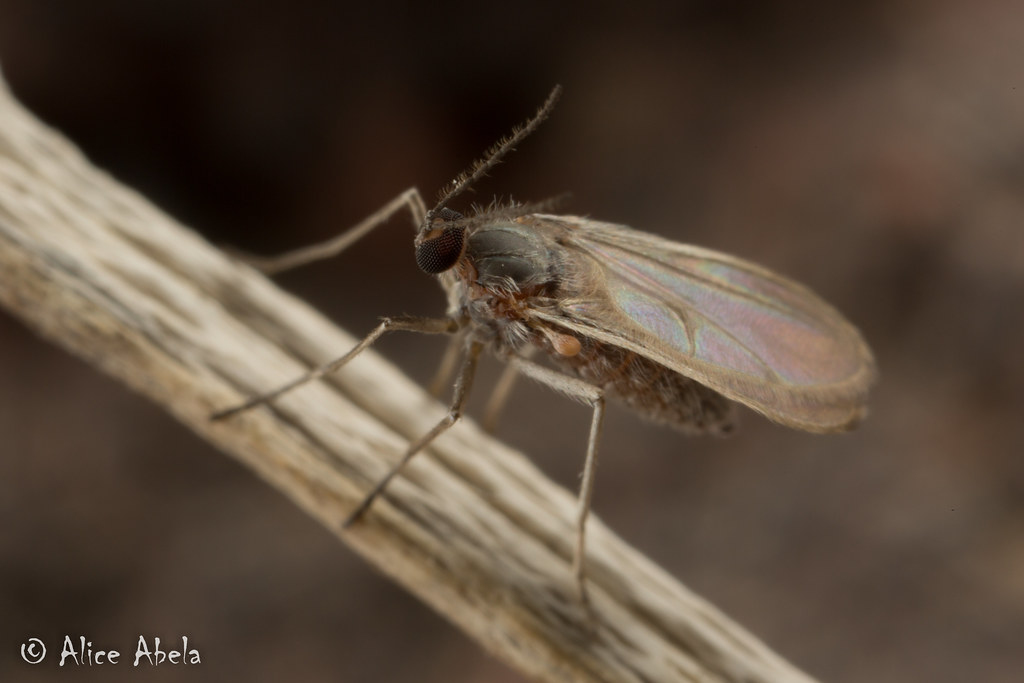 Gall fly research paper