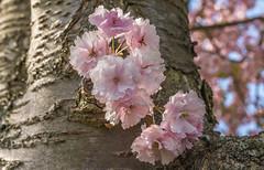 directamente en el tronco (von Renate Bomm) Tags: pink nature spring blossom natur rosa cherryblossoms frhling picoftheday stamm florescence 2016 kirschbaum 366 kirschblten chrerry tronka flickrunitedaward renatebomm chrerys