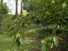 Pittosporum eugenioides A. Cunn. 1839 (PITTOSPORACEAE) (helicongus) Tags: spain pittosporum pittosporaceae jardnbotnicodeiturraran pittopsorumeugenioides