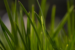 30 April 2016 (runningman1958) Tags: macro nature grass nikon blade 365 blades grassblade 365dayproject raynoxdcr250macro d7200 nikond7200