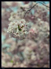Sakura (1) (***RM***) Tags: flower tree nature beautiful beauty japan garden outside spring nikon dof cherryblossom sakura nikkor fragile d600 2470