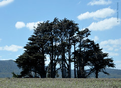 CLUSTER OF TREES IN WAKAPATU         (NEW ZEALAND, SOUTHLAND, WAKAPATU) (KAROLOS TRIVIZAS) Tags: trees newzealand mountains field clouds cedar tuft clusteroftrees wakapatu knotoftrees