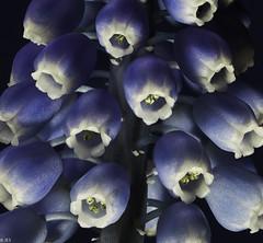 Traubenhyazinthe_002 (jeschirmer) Tags: blau makro trauben knospe blauweis