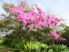 ~~~~~~~< Just beautiful >~~~~~~~ (France-) Tags: tree rose sandiego jardin arbre balboapark californie 426 paintingeffect tmt
