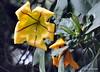DSC_0500 (RachidH) Tags: flowers nepal nature vines lily blossoms kathmandu blooms solandramaxima chalicevine cupofgoldvine hawaiianlily goldenchalicevine rachidh solandragéante