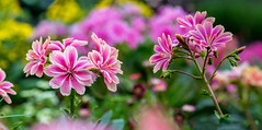 Elegant little Siskiyou lewisia (bmpala2) Tags: pink plant flower color macro green yellow closeup nikon dof elegant siskiyou lewisia lewisiacotyledon 105mm d7100