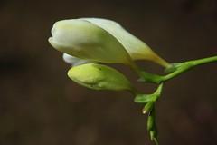 (sunil.koovakkat) Tags: nature canon flowerbud