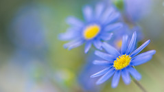 delicate blue flowers (frederic.gombert) Tags: flowers blue light sun sunlight flower color macro colors yellow spring nikon bokeh dslr greatphotographers nikonflickraward macrodreams