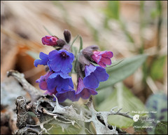 Pulmonaria australis (EEMosThEw) Tags: flowers mountain macro primavera spring flora fiori montagna trentino omd