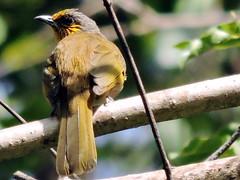 Stripe-throated Bulbul, Pycnonotus finlaysoni (asterisktom) Tags: cambodia january angkorwat siemreap bulbul 2016 stripethroatedbulbul pycnonotusfinlaysoni trip20152016cambodiataiwan