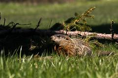 Groundhog (Marmota monax) (btcarr1970) Tags: nature mammal wildlife longislandny telephoto woodchuck groundhog marmot naturephotography suffolkcounty wildlifephotography canon7dmarkii tamronsp150600mmf563divcusd