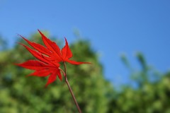 Fire red maple leaves (JPShen) Tags: blue red sky tree green leaves fire leaf maple pair twin