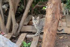 IMG_0320 (pcolmena) Tags: gris gato comiendo rubio micho