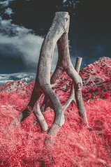 DSC_6433-Edit.jpg (THE THER COLLECTION) Tags: california pink nature ir outside nikon outdoor infrared dreamy wilderness valentinesday nofilter infraredphotography d300ir wildbayarea