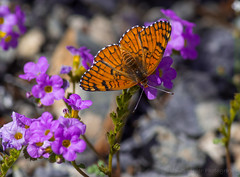 Butterfly (Meteorseeker) Tags: flowers mountains flower nature canon outside desert outdoor wildlife nevada canyon catcus deserttortise tortise mountainpeak canon60d canonfanphotography
