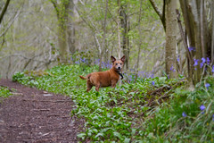17/52 Bluebells and hot dog with wild garlic (jump for joy2010) Tags: uk england dog brown bluebells woodland native small somerset charlie terrier april wildflowers chum winscombe kingswood 2016 week17 hyacinthoidesnonscripta mendiphills 52weeksfordogs jackrusselldachshund jachshund