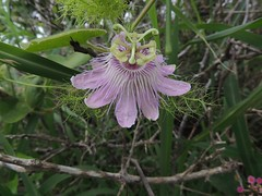 Passiflora foetida (Bush Passion Fruit) (Turtlerangler) Tags: texas passiflora portaransas purpleflowers nueces charliespasture