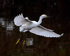 Graceful (craig goettsch - On Walkabout) Tags: bird nature animal wildlife ngc npc avian snowyegret bif baileytract