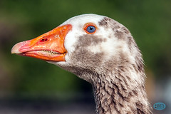 0421 IMG_4597 (JRmanNn) Tags: geese paradise teeth sunsetpark muscovyduck