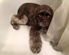 Leia in the tub (apardavila) Tags: dog bathtub cockerspaniel leia americancockerspaniel