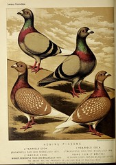 n339_w1150 (BioDivLibrary) Tags: pigeons fieldmuseumofnaturalhistorylibrary bhl:page=49799207 dc:identifier=httpbiodiversitylibraryorgpage49799207