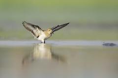 Temminck's Stint landing ! (nomane172) Tags: bird nature animal nikon outdoor wildlife ngc waterbird landing stint d750 dhaka tamron bangladesh naturephotography wildlifephotography temmincksstint uttara birdsofbangladesh 150600mm