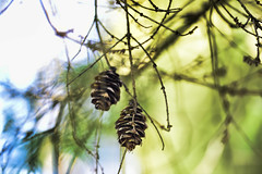 The woods are lovely, dark, and deep (YuccaYellow) Tags: light blur tree green nature misty pine woods bokeh branches pinecone blown