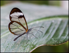 Transparent wings... (kevingrieve610) Tags: lens flickr pretty 6d ef100mm