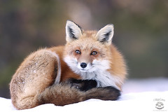 Quiet Time (Megan Lorenz) Tags: winter wild snow ontario canada nature animal mammal wildlife fox wildanimals redfox algonquinprovincialpark mlorenz meganlorenz