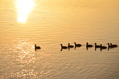 Swimming towards the Sun (Luke6876) Tags: sunset sun reflection bird water animal silhouette wildlife coot australianwildlife eurasiancoot