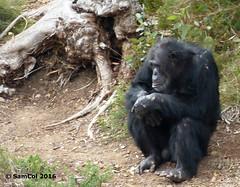 Monarto Zoo - Chimp's (Afraid) (samcol6) Tags: nature animals lumix zoo sam chimp south australia panasonic chimpanzee col 2016 monarto fz150 samcol6