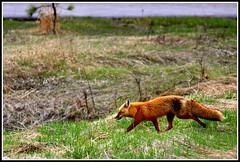 * a heavenly fox* (^i^heavensdarkangel2) Tags: canon colorado fox pagosasprings springtime colorfulcolorado heavenlycreature desbahallison heavensdarkangel2 ihda~desbahallison