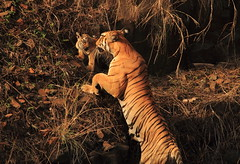 Mom and her cub (swarnabece) Tags: royalbengaltiger borwildlife