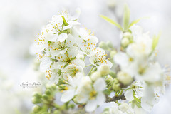 Spring Plum Blossom (Jacky Parker Floral Art) Tags: uk flowers white macro closeup outdoors blossom feminine softness nopeople softfocus freshness springtime plumblossom selectivefocus naturephotography macrophotography floralart beautyinnature springblossom horizontalformat flowerphotography focusonforeground floralfriday nikond750 spring2016