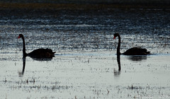 Black Swans (Merrillie) Tags: sea nature water birds animals fauna reflections bay nikon wildlife australia swans lowtide blackswans brisbanewater woywoy d5500 nswcentralcoastnsw centralcoastnsw