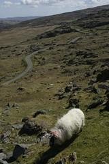 Sheep (Paul McNamara) Tags: ireland cork healypass