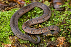 Ninia maculata (Kevin Stohlgren) Tags: wood macro coffee costarica snake sony sigma litter monteverde spotted a77 banded 70mm maculata ninia