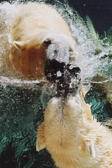 Untitled-26 (ucumari photography) Tags: 2003 bear animal mammal zoo oso nc december north polarbear carolina willie willy masha eisbär wilhelm ursusmaritimus シロクマ oursblanc osopolar 北极熊 ourspolaire orsopolare jääkarhu 북극곰 ucumariphotography ísbjörn niedźwiedźpolarny полярныймедведь الدبالقطبي