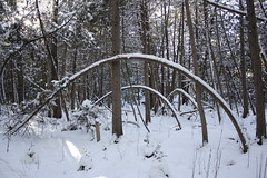 tree rainbows (a. burkart) Tags: trees snow ontario canon rebel conservation lindsay covered area bent