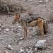 Schabrackenschakal (Canis mesomelas) - Etosha-Nationalpark, Namibia (Nov. 2015)